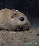 Hairy Footed Gerbil