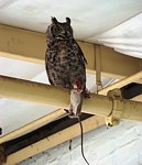 Rodent Control - Owl